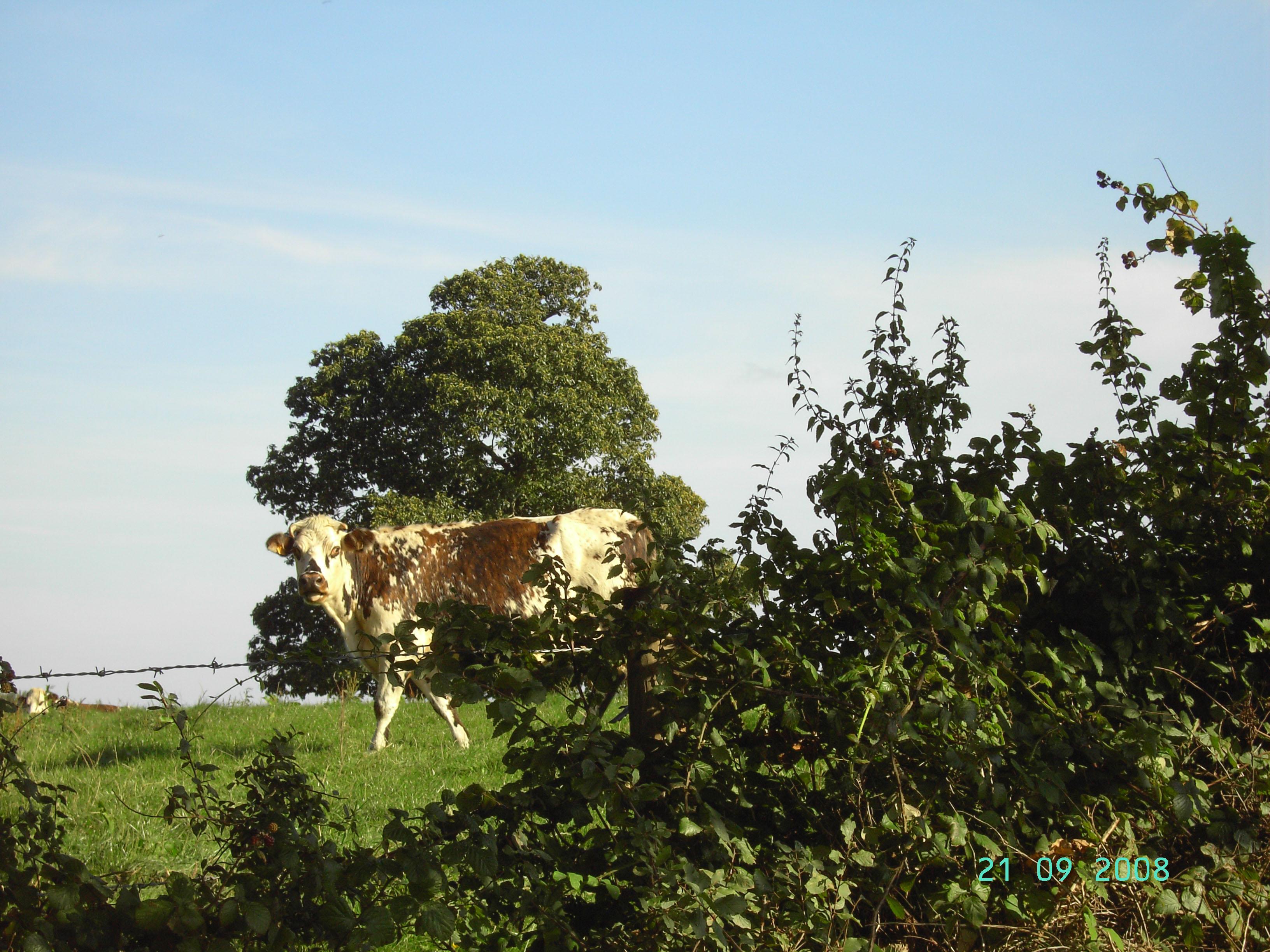 La vache normande